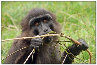 Macaq : comment l'art de la grimace vient au singe
