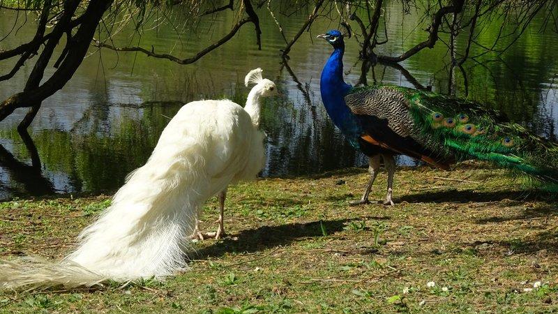 Hidalgo dans le lac Daumesnil : paon sur le bec !